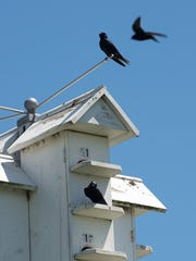 Purple martin birds sit on their houses at Bombay Hook National Wildlife refuge in Smyrna.