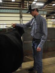 """Zac Reed of Burkburnett combs his heifer Bell before the start of the Heifer Show at the Wichita County Livestock Show Saturday, Jan. 14, 2017, at the J.S. Bridwell Agricultural Center. Reed had to wait until high school to begin raising heifers for livestock shows. """"With this you're looking for quality genetics, you want them to be breed standard."""" Reed said, """"At home we have beef cattle so it doesn't matter how ugly it is. All that's important is the meat."""""""