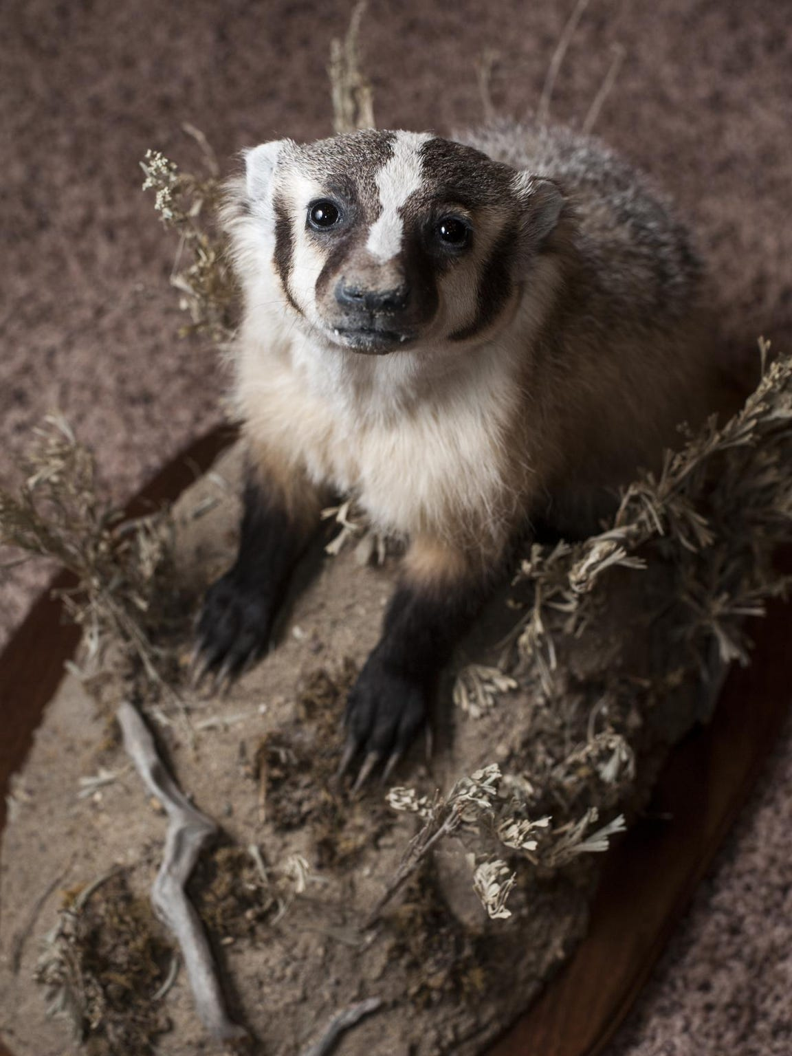 This juvenile badger by Sara Renfrow won first place