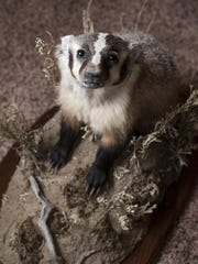 This juvenile badger by Sara Renfrow won first place and best of show in Montana Taxidermists Association's professional division competitions.