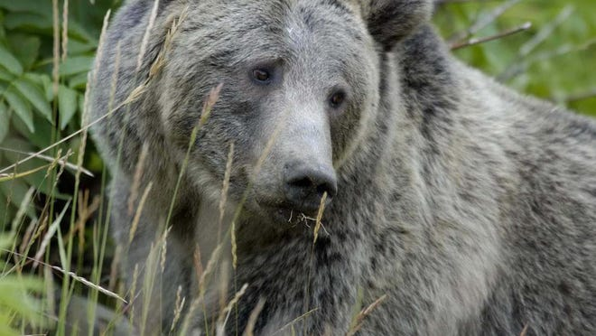 As bears come out of hibernation, FWP would like to remind everyone on steps to be bear aware.