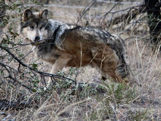An endangered Mexican gray wolf enters the wild after