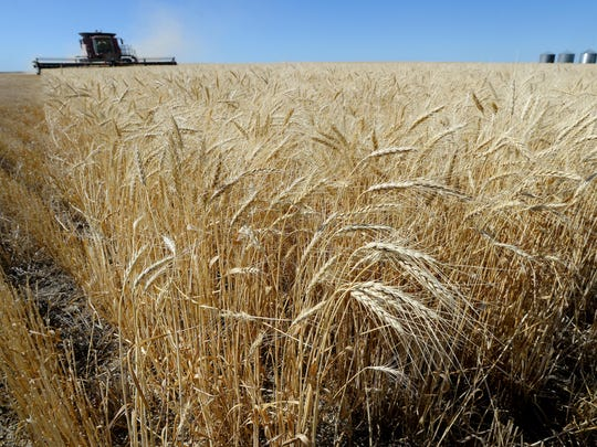 Wheat growers around the area are harvesting their crops amid falling wheat prices on the global markets.