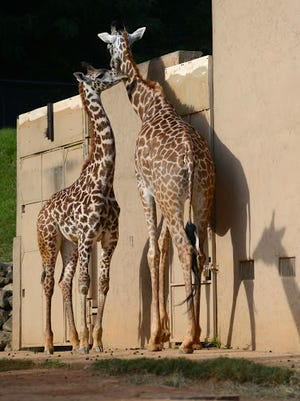 Kiko, left, stands next to his mother, Autumn, at the Greenville Zoo in this file photo