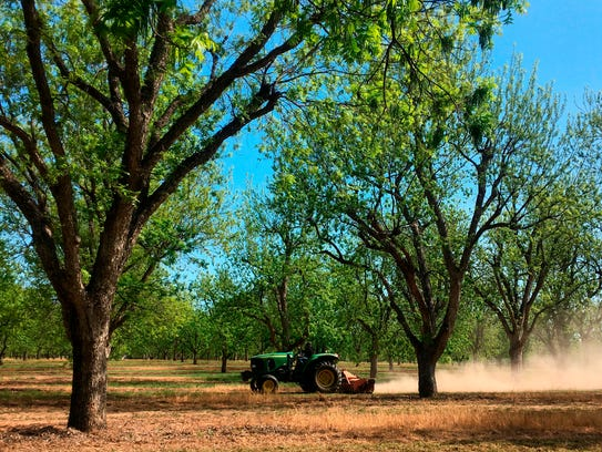 A worker mows between rows of pecan trees at a 14,000-acre