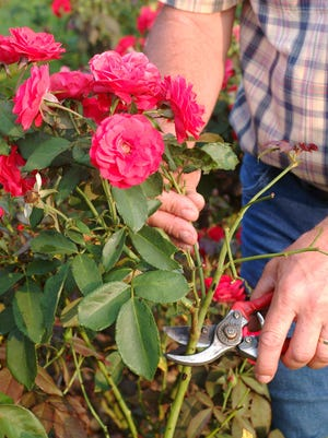 For harvesting roses or pruning old canes, bypass pruners work best.