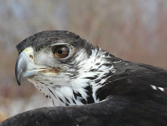 20150415_African_Hawk_Eagle.jpg