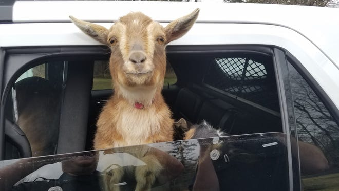 Two lost pygmy goats get a ride in a police cruiser after being reported in a woman's garage on Sunday, April 23, 2017.