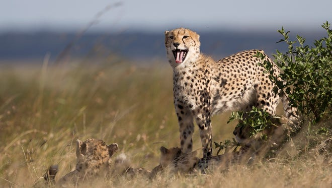 A cheetah yawns as others lie down in the late afternoon in the savannah of the Maasai Mara, Kenya.