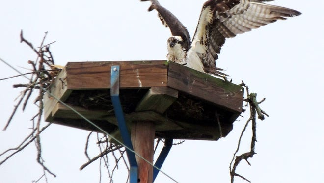A female osprey tends to her nest in Weyauwega. Volunteers from We Energies, along with Patricia Fisher, owner of the Feather Wildlife Rehabilitation and Education Center in New London, recorded and banded osprey chicks along the Wolf River in Waupaca County.
