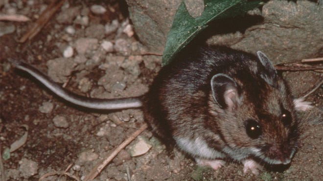 A file photo submitted to the Reno Gazette Journal in 2001 of a deer mouse. Deer mice are one of many rodents that transmit hantavirus through their urine and droppings.