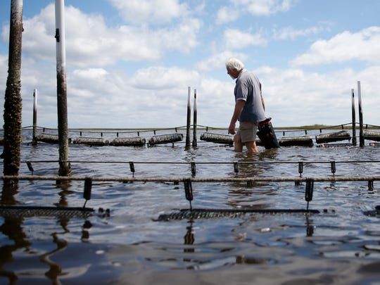 Tim Jordan, a student of TCC's Oyster Aquaculture program, wades through the knee deep water at low tide to deposit some of his young oyster cages at the school's farm Friday, Sept. 18, 2015.