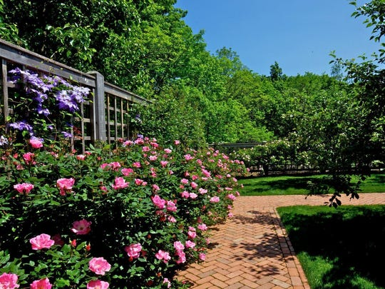 pink landscape rose