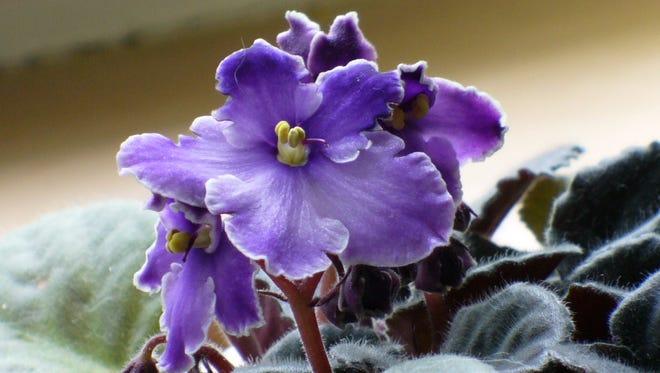 African violets.
