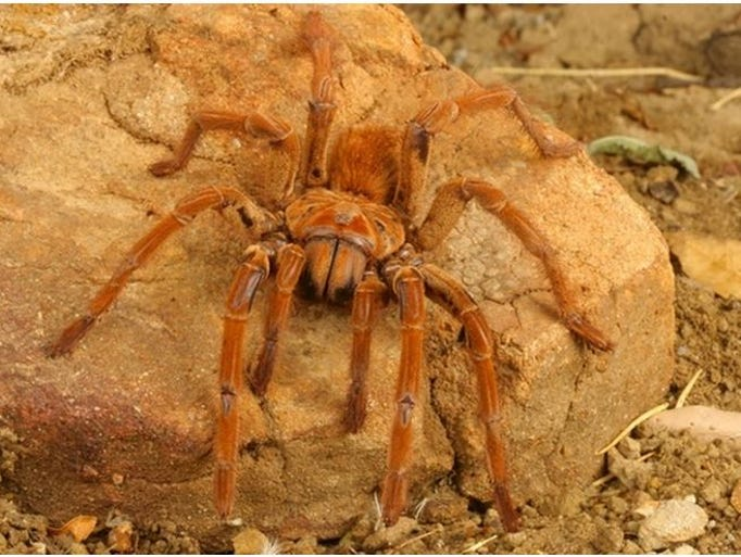 South american goliath birdeater - photo#3