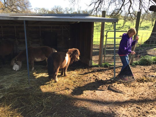 Chic Miller of Bella Vista Farms in Igo cleans out a pen where she keeps miniature ponies.