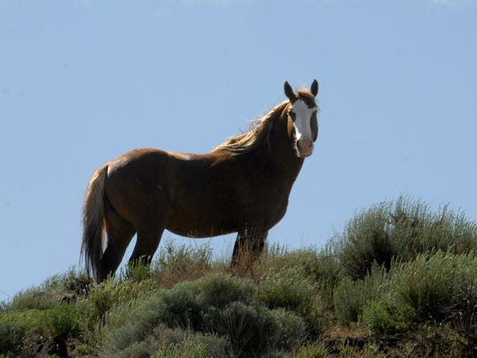 A wild stallion keeps watch in the Lagomarsino Canyon area east of Reno.
