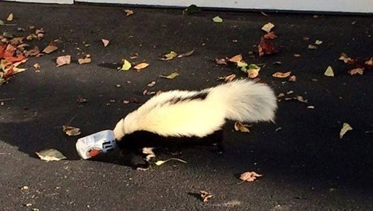 A skunk has his head stuck in a beer can near Miami University in Oxford, Ohio