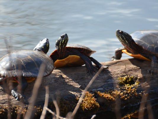 636023218777564293-LDN-DW-062616-painted-turtle.jpg