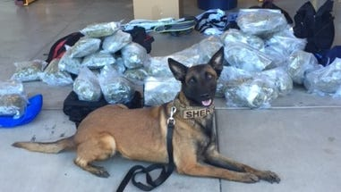 """""""Miley,"""" Yavapai County Sheriff's Office drug-detecting K9, found 60 pounds of marijuana that was seized from two different vehicles."""