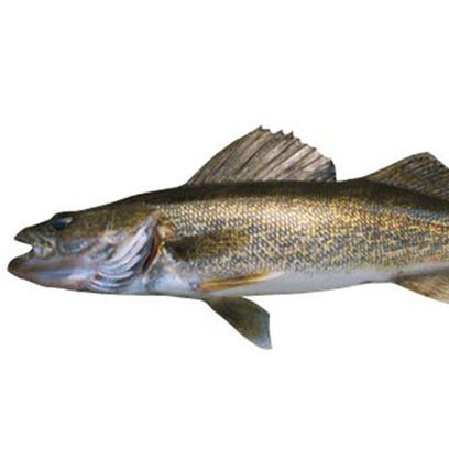 Walleye: flesh is firm, white, fairly dry and virtually