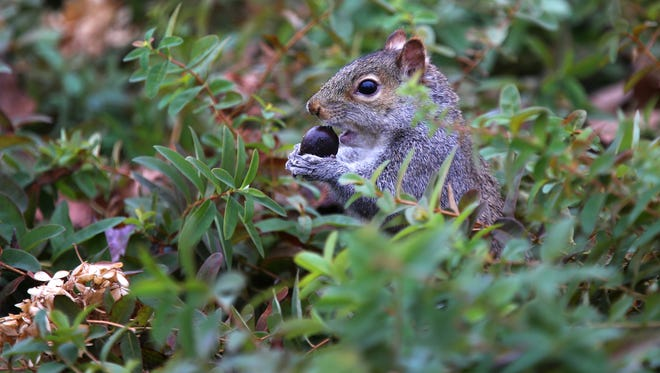 The Cincinnati Zoo & Botanical Garden doesn't mind too much when squirrels eat nuts. That's what they're supposed to do. But when they gnaw through wires and knock out parts of the PNC Festival of Lights, that's a bigger problem.