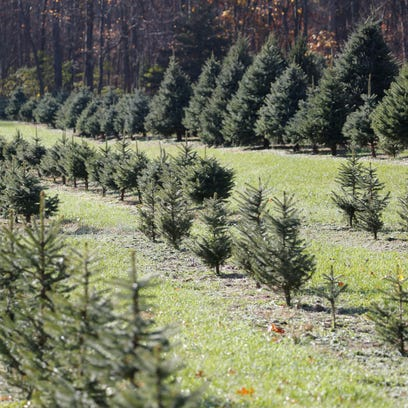 Christmas trees: U-cut experiences that are more than trees