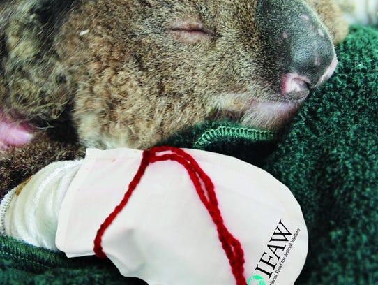 A recovering koala.