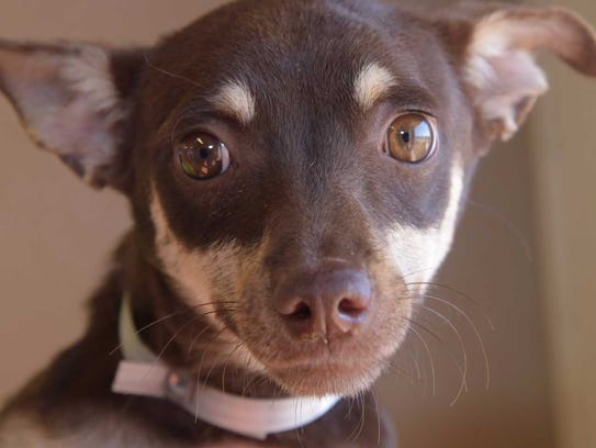 Sammy - Male Chihuahua mix, adult. Intake date:10/3/2017