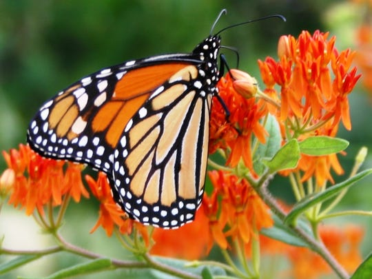 A monarch butterfly perches on milkweed, one of the