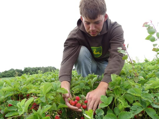 Ethan Stuckey looks over a healthy strawberry plant