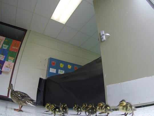 Vanessa the Village Elementary Duck leads her recently