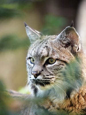 The newest addition to Wildwood Zoo in Marshfield is 9-year-old bobcat Bets.