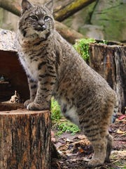 Bets the bobcat's addition to Wildwood Zoo will change