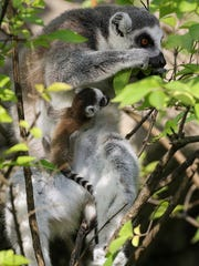 Three ring-tailed lemur babies have been born at the