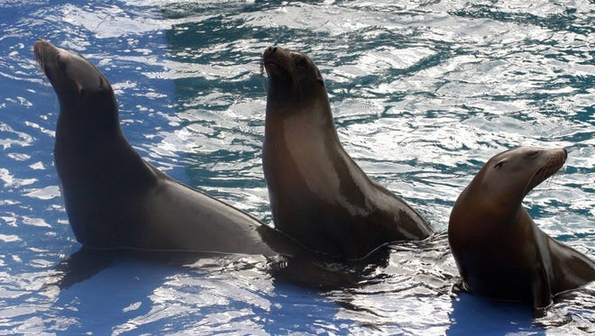 Three California sea lions can seen at Wildlife World Zoo, Aquarium & Safari Park.