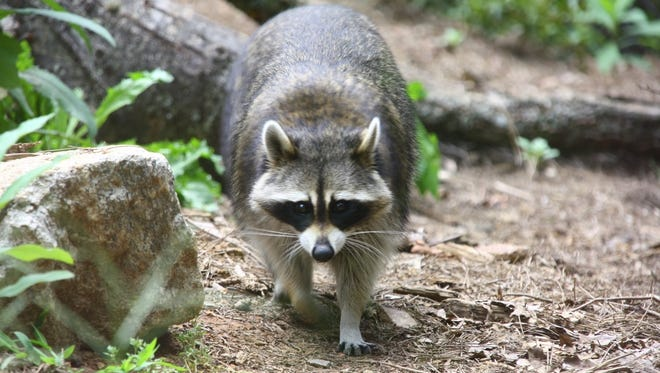 A rabid raccoon came in contact with a dog in  Henderson County.