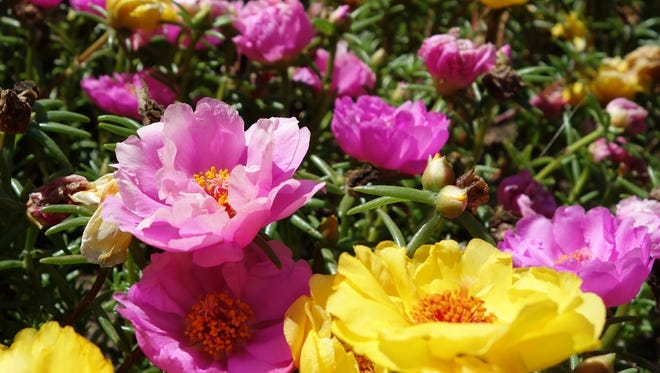 Hot pink and yellow Portulaca, a drought-tolerant succulent with tissue-like flowers, fill the beds at the West of Lake Garden in Manitowoc.