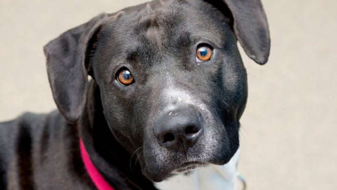Inka is a 2-year-old Pit Bull Terrier mix. She is a little shy and very sweet. Inka is available at the Humane Society of the Tennessee Valley, 6717 Kingston Pike. For more information, call 865-573-9675 or visit http://www.humanesocietytennessee.com/.