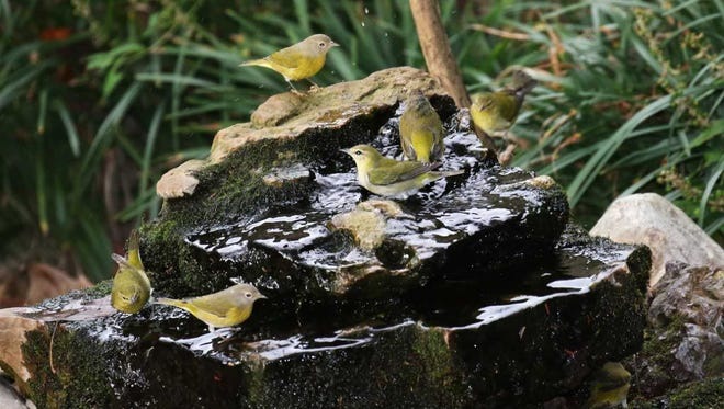 Seven warblers--Nashvilles and Tennessees, one under the right edge--crowded a bubbling rock for a drink and a bath during their long-distance migration.