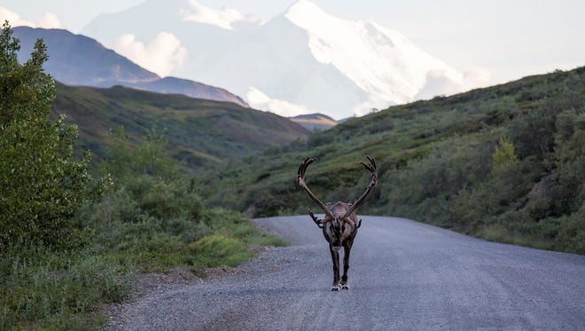 The traffic is a little different in Denali National Park and Preserve. A bull caribou takes an evening stroll down the park road with Denali in the background.