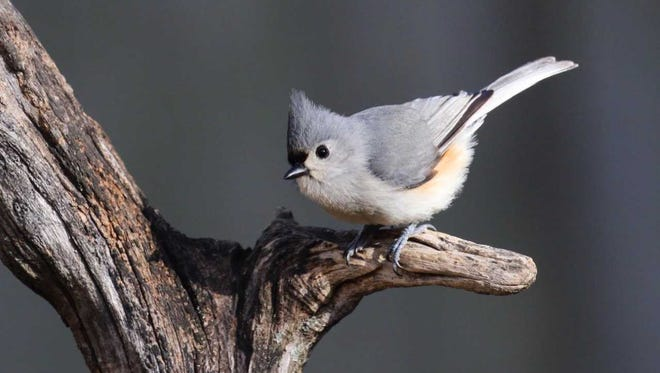 Tufted titmouse sports a cocky little crest, a blush of peach at wing's edge, and big baleful eyes, ever alert to everything in its little world.