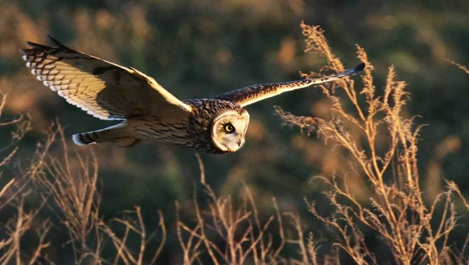 Sometimes described as a beer keg with wings, short-eared owls sport feathered feet, golden eyes, and a flat face, all features readily visible as they fly, often skimming low vegetation, hunting rodents.