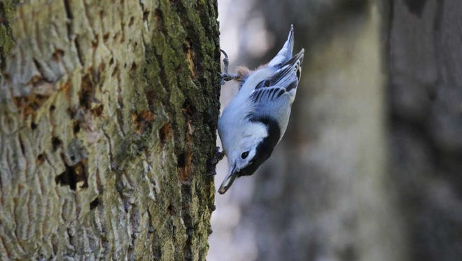 A white-breasted nuthatch scores lunch with an insect egg scavenged from a dead tree's decaying bark, pock marks showing evidence of many woodpecker explorations for similar eggs, insects and larvae.