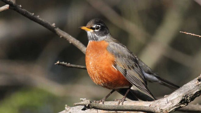American Robins remain in the Tri-State year-round but change behavior during the seasons.