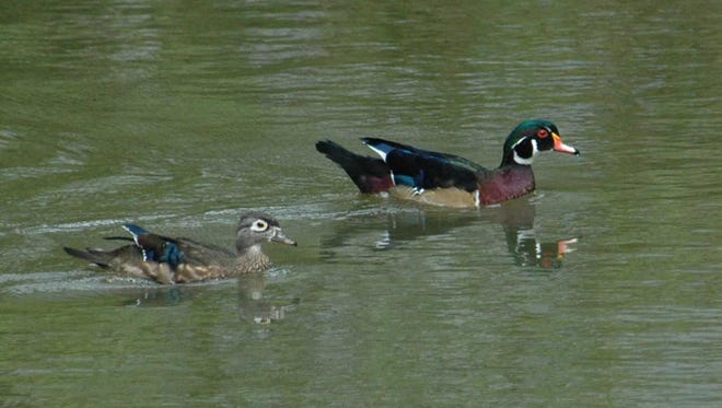 Wood duck pairs typically cruise wooded marshes or other secluded, quiet waters.