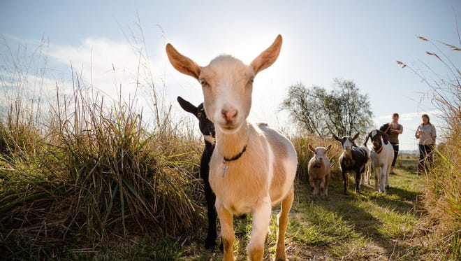 Goat yoga will officially launch this weekend in Williamston. Courtesy photo.