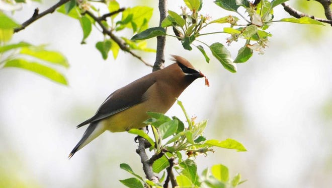 In early spring, cedar waxwings often eat blossoms in lieu of their preferred berries.