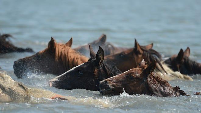 Chincoteague Ponies make the 91st annual Chincoteague Pony Swim on Wednesday, July 27, 2016 on Chincoteague Island, Va.