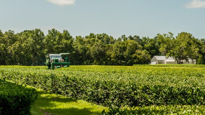 A machine tends to the fields at the Charleston Tea Plantation.